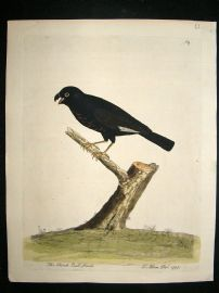 Albin: 1730's Hand Colored Bird Print. The Black Bull-Finch